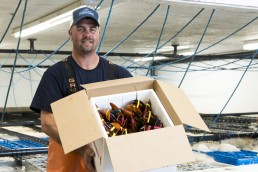 Maine Coast shipping lobsters